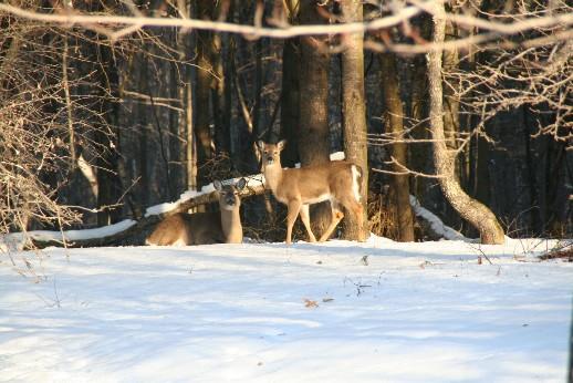 Dewd's Deer